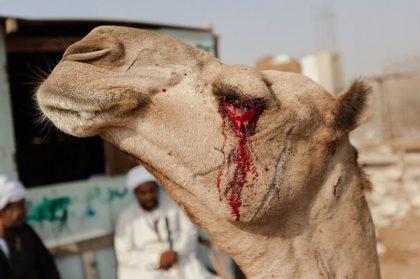 Ужасы самого большого рынка верблюдов в Африке… На это просто невыносимо смотреть!