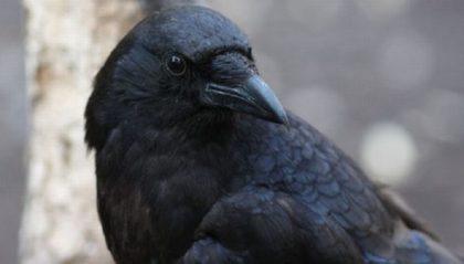 Ворона украла паспорт у эстонца на таможне в Ивангороде!