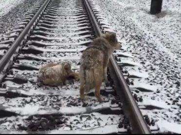 2 дня эти собаки провели на рельсах. Когда вы узнаете, что произошло – не сможете сдержать слез!