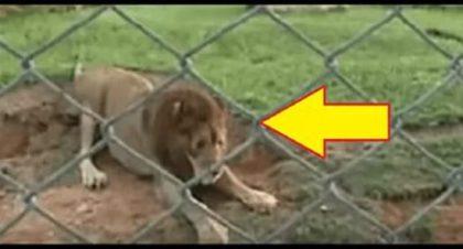 Лев, который 13 лет прожил в цирке, впервые увидел траву и землю