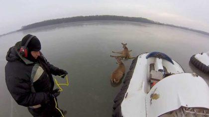 Эти два оленя застряли прямо посреди озера!